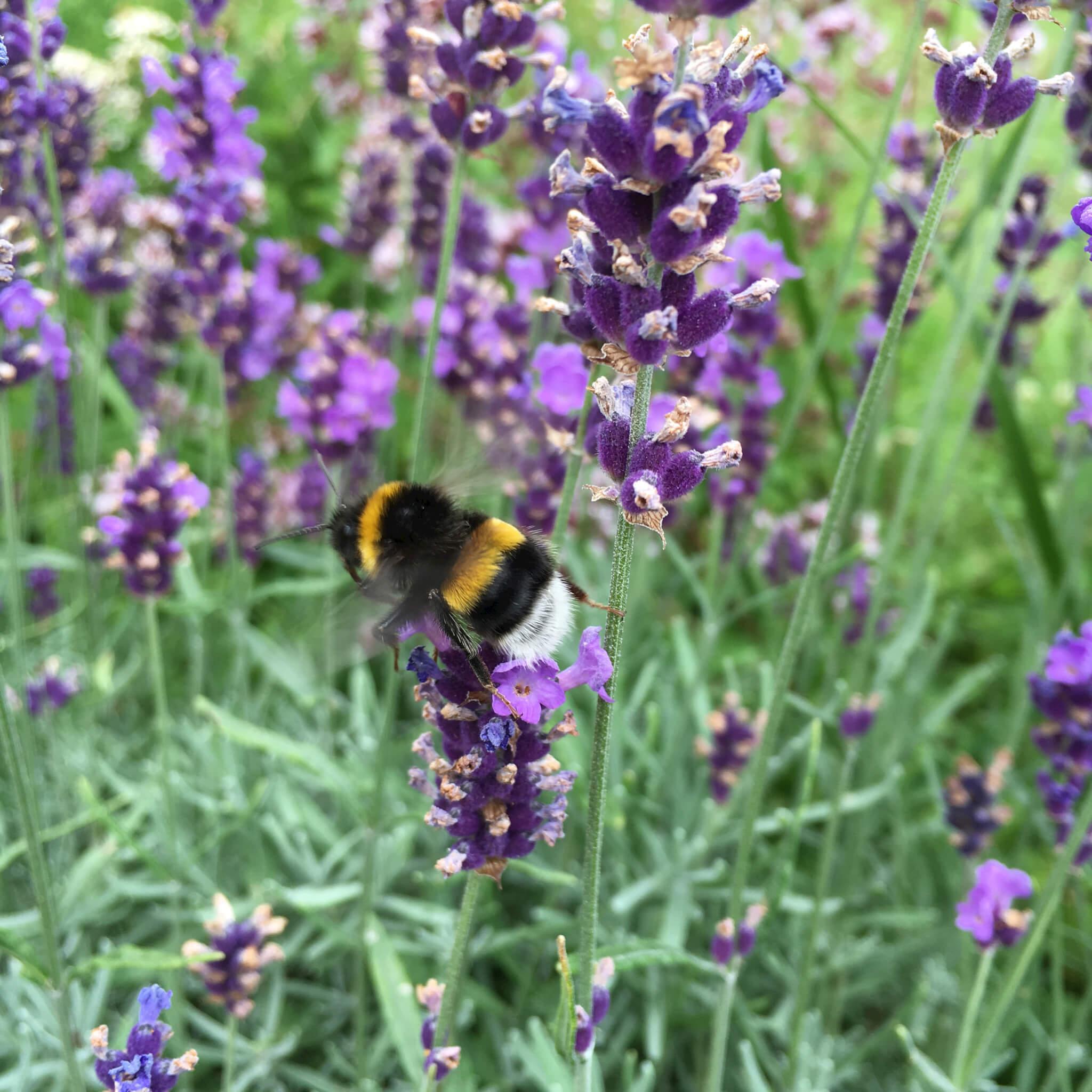 lavendel besøgt af bier