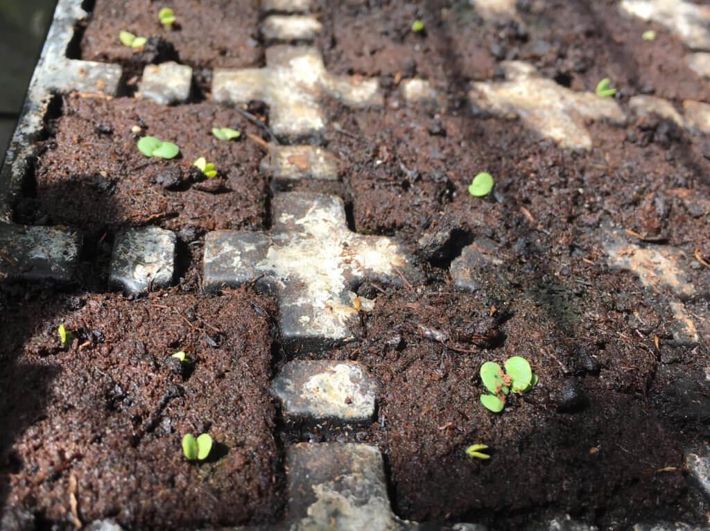staudesalvie frø der spire