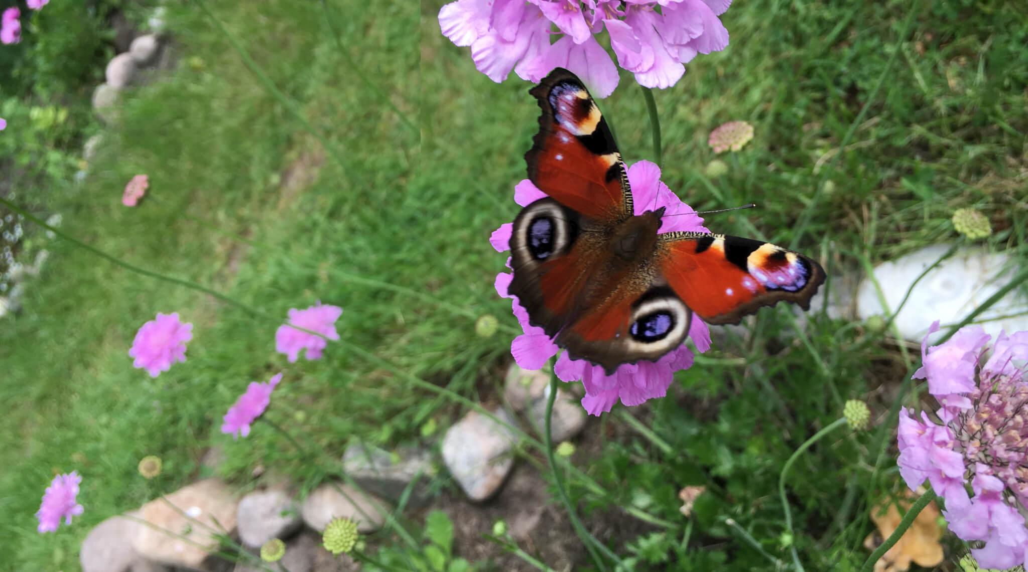 tiltrækker sommerfugle