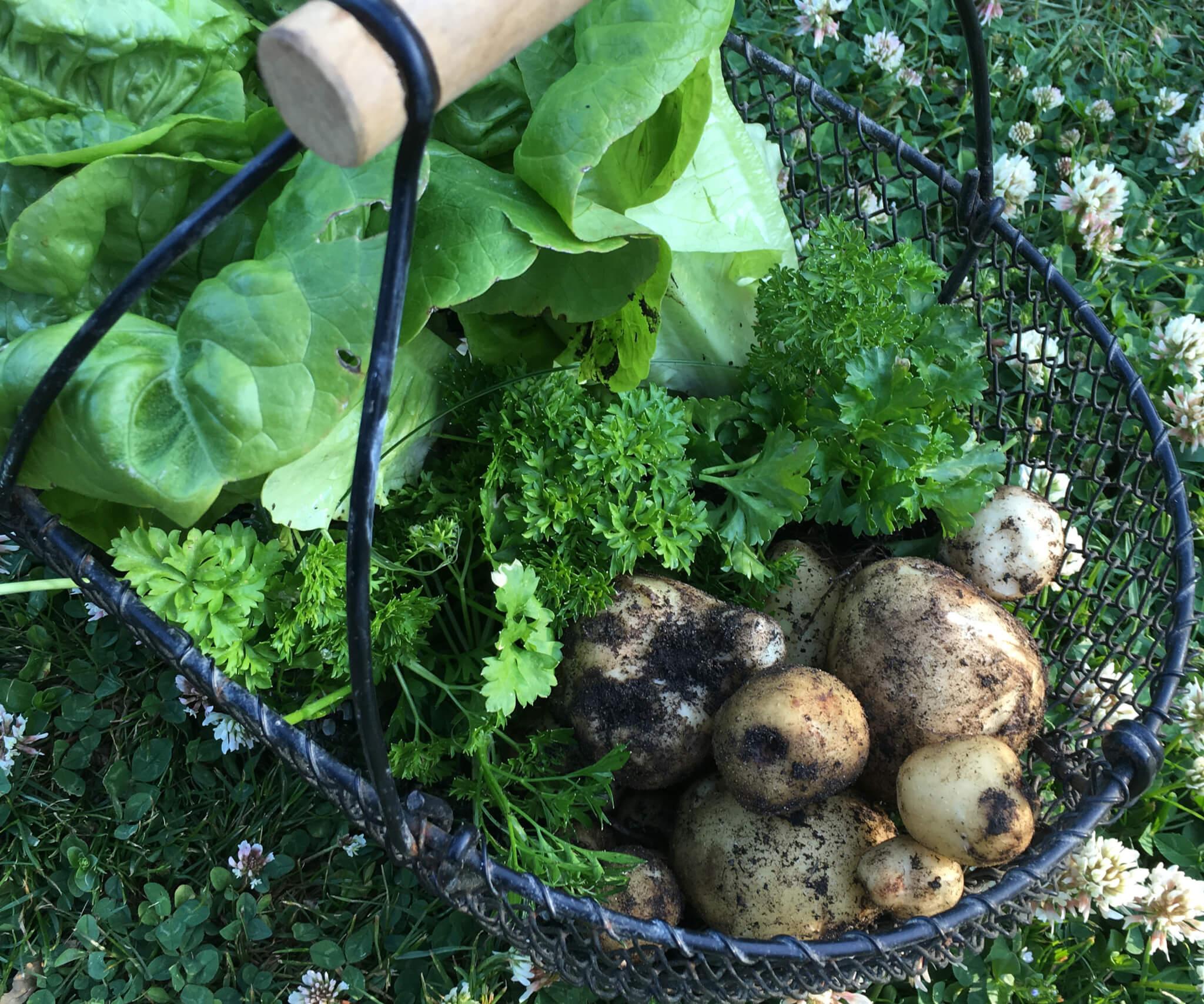 de første kartofler høstet i haven