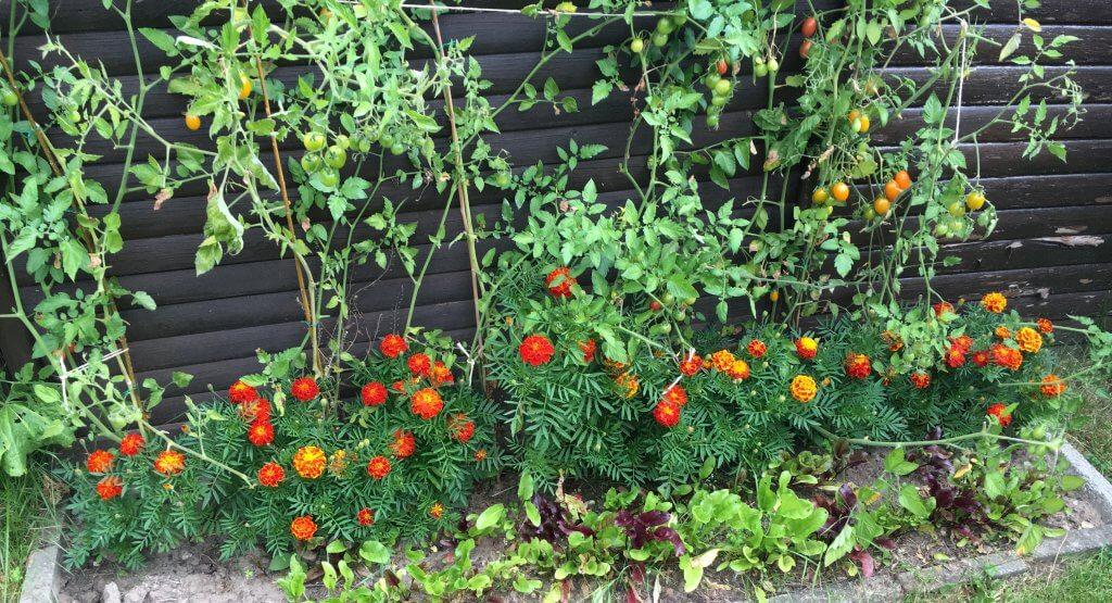 gode naboplanter til tomater