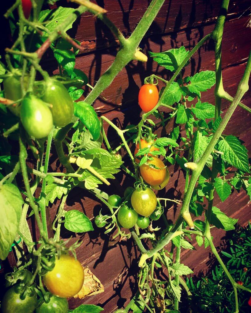 frilands tomater
