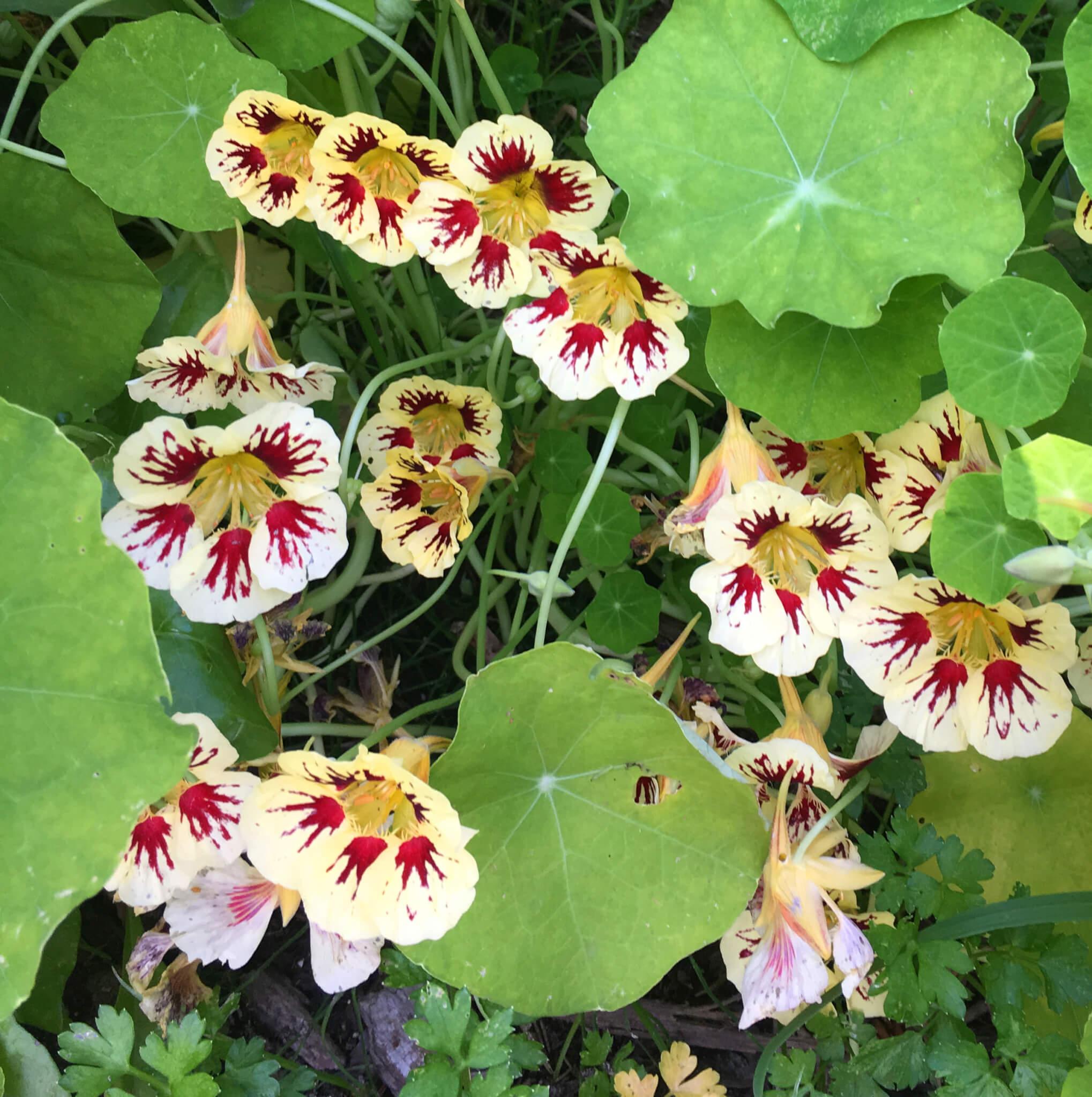 blomsterkarse