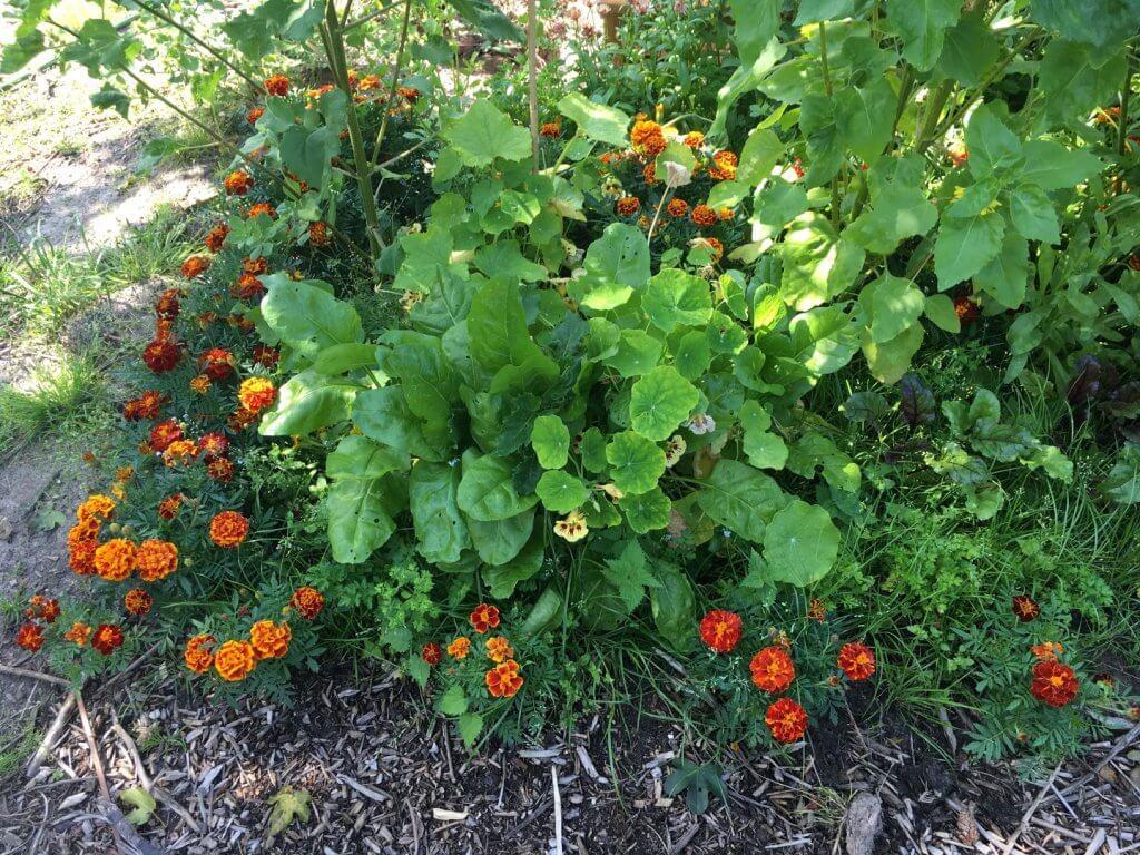 Gode og dårlige naboplanter i køkkenhaven