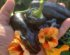 sort peberfrugt